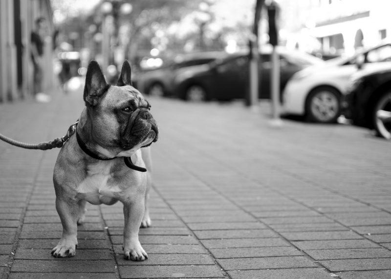 DOG-LouieSM